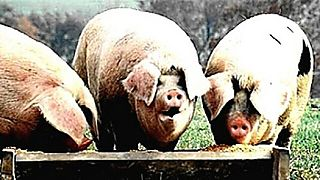 Greedy_pig_auction_houses_at_trough
