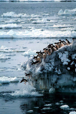 Penguins_jumping_in