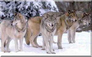 Wolfpack1_1